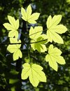 Ornamental leaves sunny floodlit translucent green in bright sunlight at spring time Stock Photos