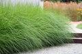 Ornamental perennial grass Royalty Free Stock Photography
