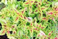 Ornamental plants or Coleus