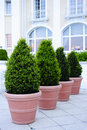 Ornamental potted trees Stock Images