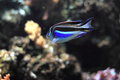 Ornate angelfish Royalty Free Stock Photo