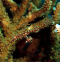 Ornate ghost pipefish Stock Image
