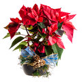 Ornated poinsettia a potted with a blue ribbon and isolated on white Stock Image