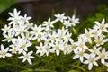 Ornithogalum Flowers Star Of B...