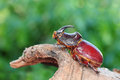 Oryctes nasicornis, beetle Royalty Free Stock Photo