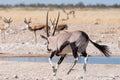 Oryx, also called gemsbok, running water at a waterhole