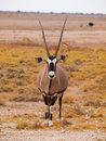 Oryx antelope front view of gazella Stock Photos