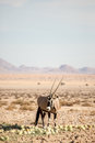 Oryx by desert melons Royalty Free Stock Photo