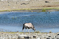 Oryx in etosha national park at a watering hole namibia Stock Photos