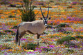 Oryx in flowers Royalty Free Stock Photo