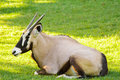 Oryx gazelle an resting on the grass Stock Photo