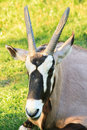 Oryx gazelle an resting on the grass Royalty Free Stock Photos