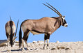 Oryx grazing in the desert Royalty Free Stock Photo