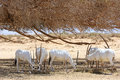 Oryx herd Royalty Free Stock Photos