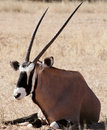 Oryx in the kalahari desert Stock Images