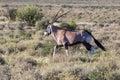 Lone male Gemsbok, Oryx gazelle kalahari