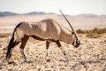 Oryx in Namib Desert Royalty Free Stock Photo