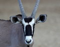 Oryx portriat of a kalahari Stock Photography