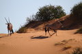 Oryx in red sand of the kalahari Stock Photography
