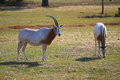 Oryx two scimitar horned standing there alone Stock Photos