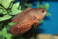 Oscar astronotus ocellatus aquarium fish tropical Royalty Free Stock Images