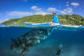 Oslob philippines april large whale shark fisherman a underneath a small boat during a controversial feeding in Royalty Free Stock Images