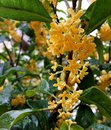 Osmanthus blossoms Royalty Free Stock Photo