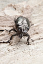 Osmoderma eremita a very rare beetles on a tree trunk Royalty Free Stock Image