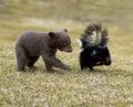 Oso negro curioso (Ursus americanus) y mofeta rayada Foto de archivo