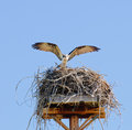 Osprey arriving at nest atop a man made structure for them Royalty Free Stock Photography