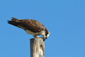 Osprey an atop a pole against a blue sky Royalty Free Stock Photos