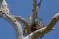 Osprey Building Nest Royalty Free Stock Photo