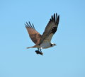 Osprey with bullhead fish a that it just caught Stock Image