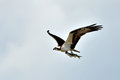 Osprey carrying fish in its talons pandion haliaetus flight against an overcast sky a freshly caught it s Royalty Free Stock Photography