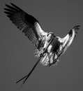 Osprey carrying very long stick to his nest a Royalty Free Stock Photography