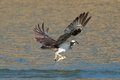 Osprey catches a fish from the lake and grasps it in his talons pandion haliaetus oregon emigrant near ashland taken Royalty Free Stock Photo