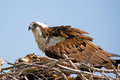 Osprey And Chick Royalty Free Stock Photos