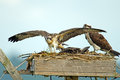 Osprey Chick Stock Photo
