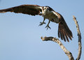 Osprey in Flight Royalty Free Stock Photography