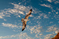 Osprey in flight against a blue sky Stock Photos