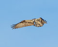 Osprey flight pauses mid air looking prey below Royalty Free Stock Photo