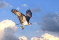 Osprey flying in clouds with fish in talons Royalty Free Stock Photo