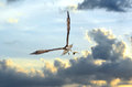 Osprey flying in clouds at sunset with fish in talons the over the chesapeake bay a Royalty Free Stock Photos