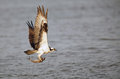 Osprey flying with fish Royalty Free Stock Photo