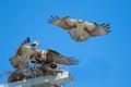 Osprey Intruder Royalty Free Stock Photo