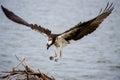 Osprey Landing Royalty Free Stock Photo