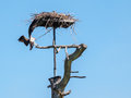 Osprey  landing at his nest Royalty Free Stock Photo
