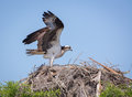 Osprey Landing on its Nest Royalty Free Stock Photo