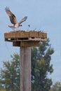 Osprey landing vertical Royalty Free Stock Photo