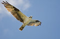 Osprey Making Eye Contact While Flying Royalty Free Stock Photo